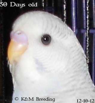 Telling the Age of a Budgie