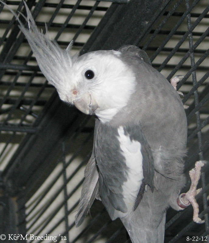 Baby White faced Pearl Cockatiel | cpbirds |White Faced Cockatiel